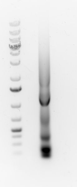 Image:2015-11-06 PCR of HPK-CFP gel extraction.jpg