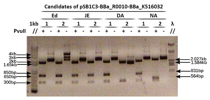 Digested pSB1C3-BBa R0010-BBa K516032 candidates.jpg