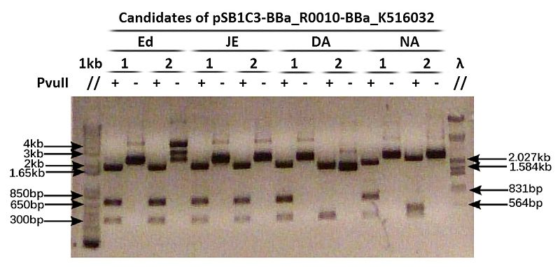 File:Digested pSB1C3-BBa R0010-BBa K516032 candidates.jpg
