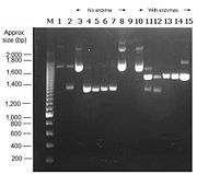 Fig. Analysis of restriction digest. Antgp plasmid cut with Xba1 and J04450 plasmid cut with Nde1 in lanes 1 and 2 respectively. Lanes 3-8 contain uncut samples 2a,2b,2c,3a,3b,3c respectively . Lanes 10-15 contain digested samples 2a,2b,2c, with Xba1 3a,3b,3c  with Nde1 respectively.