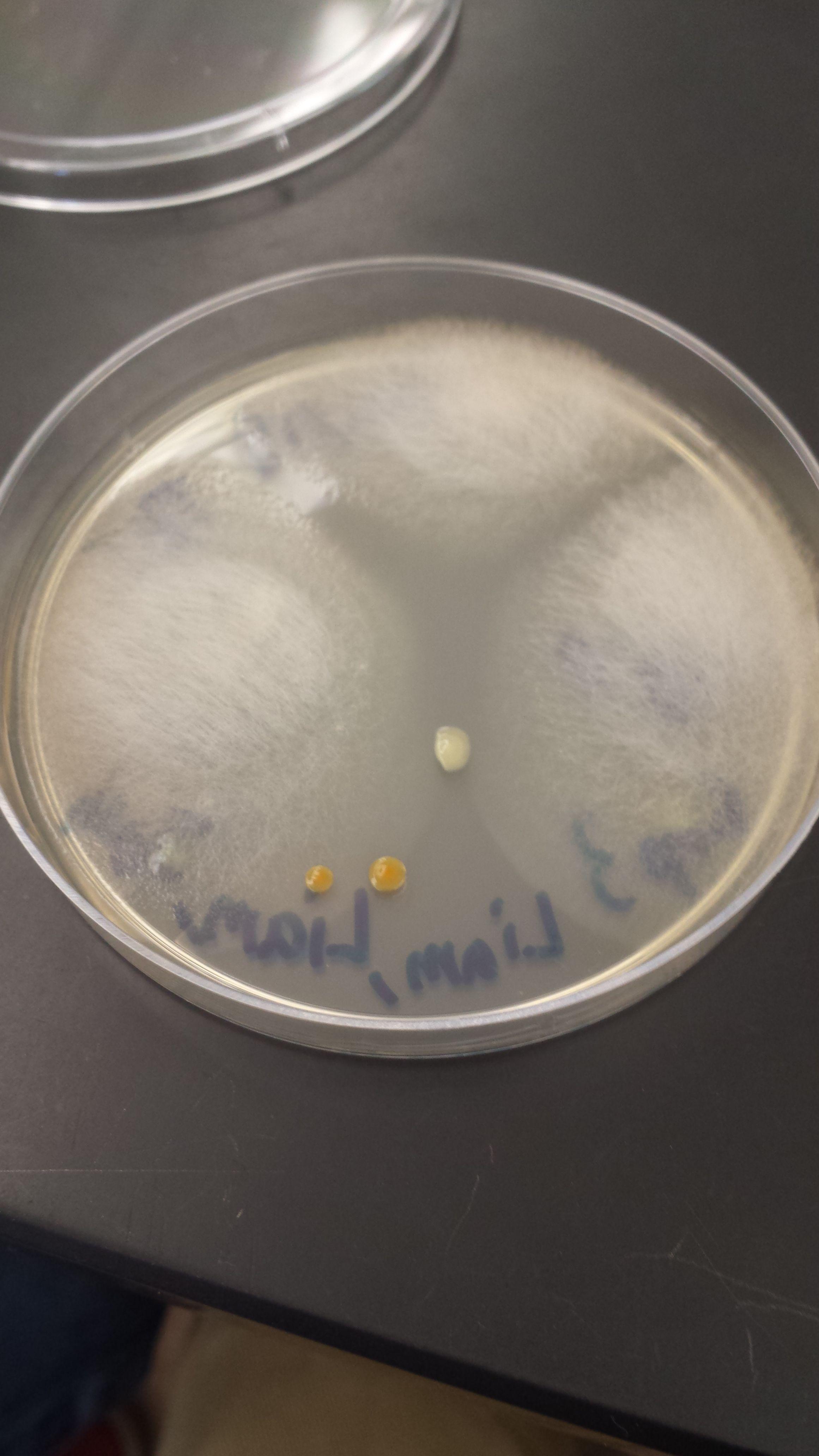 Agar Plate lab 3 (4).jpg