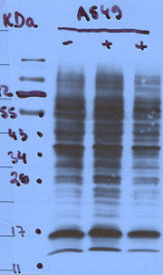 Laddering effects in a western blot may suggest that primary specificity is low and/or the antibody is overly sensitive