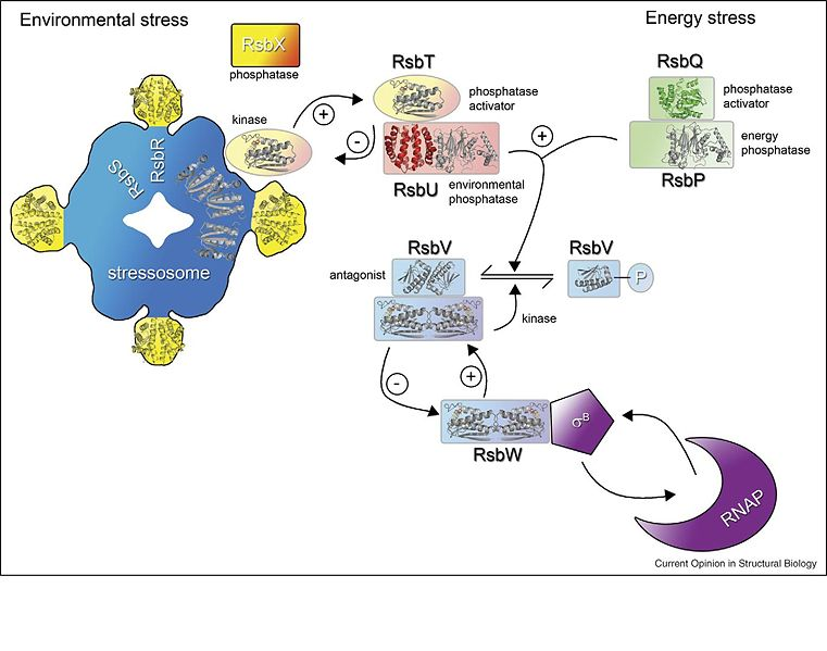 File:SigB Transduction Network 2.JPG