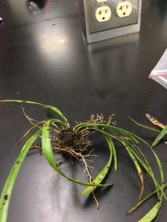 File:AlyssaLillian Plant1.JPG