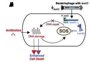 Enhanced antiobiotics with phage.PNG