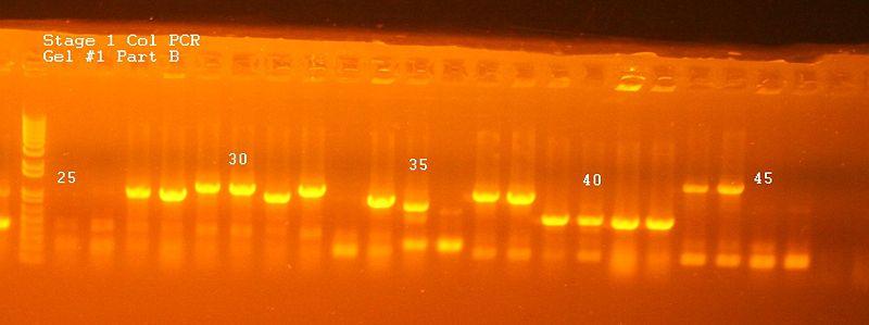 File:Stage 1 Col PCR Gel 1 Part B.jpg