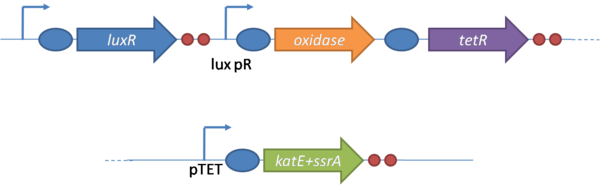 Figure 3 - System design for the oxidative burst.