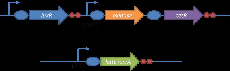 File:Oxidative burst system design.png