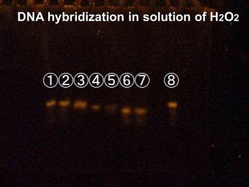 File:DNA hybrudization.jpg