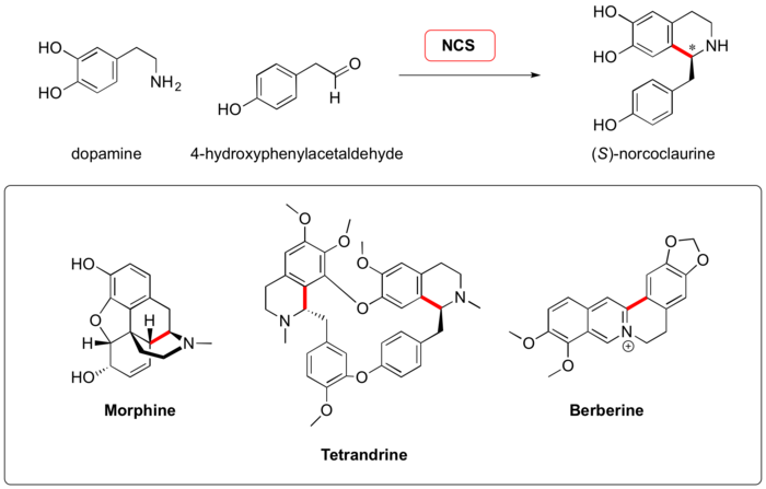 Scheme: (Waldmann 2, 2011). Natural substrates of norcoclaurine synthase and some benzylisoquinoline alkaloids accessible via this biocatalytic Pictet-Spengler reaction. C-C Bonds formed during Pictet-Spengler condensation and retained in the final product are shown in red.
