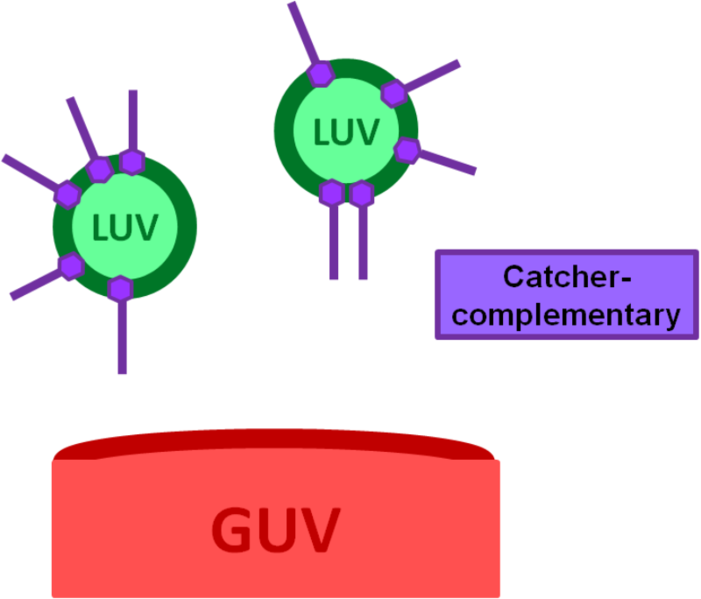 File:BM12 nanosaurs LUVs with catcher complementary strands as target speciesCONTROLnoorigami.png