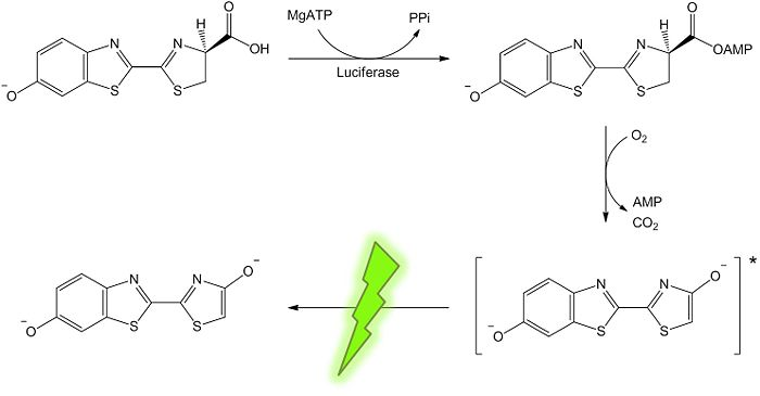 Luciferin-luciferase reaction.jpg