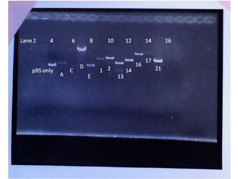 File:Annotaded shotgun clones gel.png