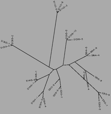 Figure 39:The midvisit tree for the all three progressor groups for the mid-visit, generated by CLUSTALW.