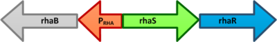 The E. coli rhaBRS locus. In the presence of Lrhamnose, RhaR activates transcription of rhaR and rhaS, resulting in an accumulation of RhaS. RhaS then acts as the L-rhamnose-dependent positive regulator of the rhaB promoter.