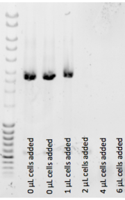 All wells contain miniprepped plasmid template (<<1ng/well) and varying amounts of 2-day autoinduced BL21(DE3) culture containing that same plasmid was added in varying amounts.  1uL of that culture still allowed the 12uL PCR to work, but 2uL and above inhibited badly.