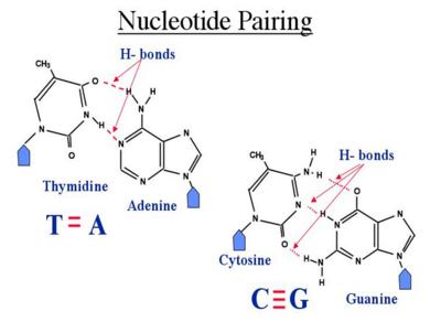 BME100 NucleotidePairing.PNG