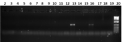 Fig 1. Gel image showing 18 of the PCR results, and a 1Kb+ ladder in lane 20. Only lanes 13 and 16 showed any DNA product.