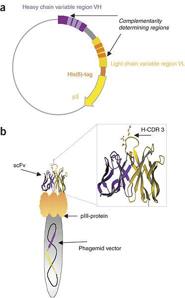 File:JCA-Antibody4.jpg