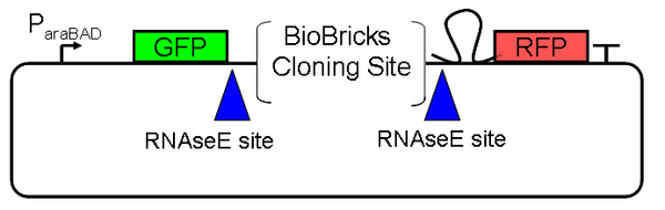Design of Screening Plasmid 1.0: We are using the Pbad arabinose-inducible induction system [2] as a tunable input.  GFP is a measure of input and RFP is a measure of output.  A Biobricks cloning site enables easy insertion of any Biobricks part.  RNase E sites create independence between the mRNA stability of the device being screened and the mRNA stability of the fluorescent proteins.  In particular, we suspect mRFP1 contains internal RNaseE cut sites and have added a hairpin 5' of the coding region to slow degradation by RNase E. [3]