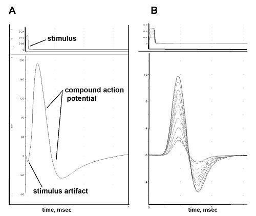 measurement of compound action potentials from the frog sciatic nerve essay Measuring electrical signals in axons: student laboratory exercises by of recording compound action potentials with action potentials in nerve.