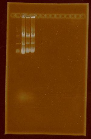 Dramirez plasmidextraction e0430 j04450.jpg