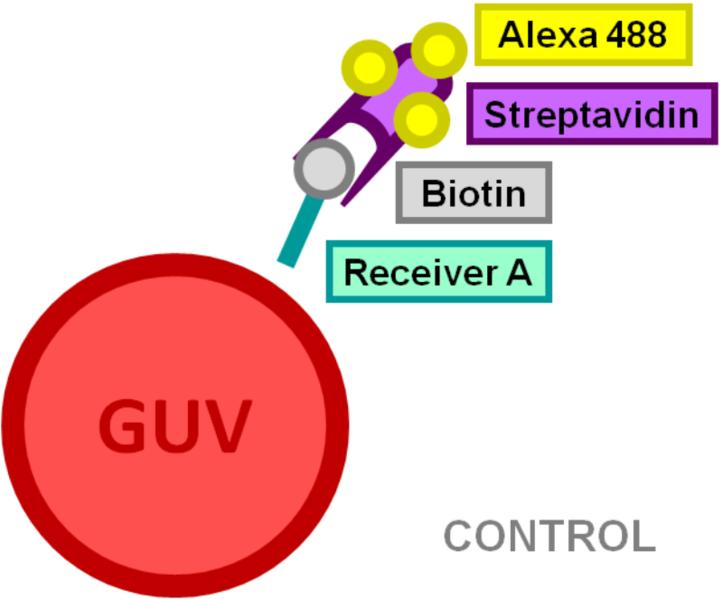 File:BM12 nanosaurs Alexa 488 labeled Streptavidin molecules as target speciesCONTROL.png