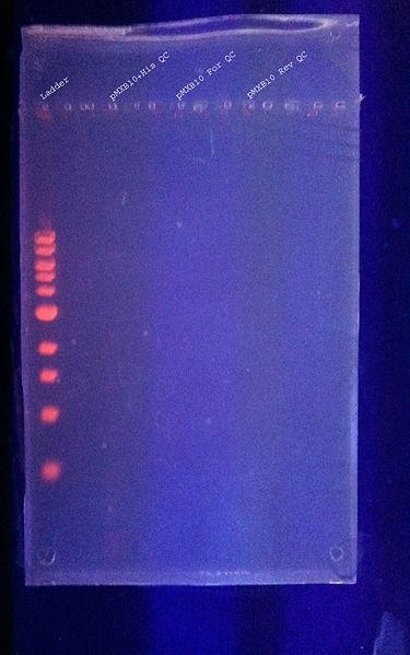 File:DNAgel 8.22.2011 labeled.jpg