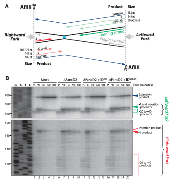 Image:Figure 2AB pICL repair by FANCD2-FANCI complex.jpg