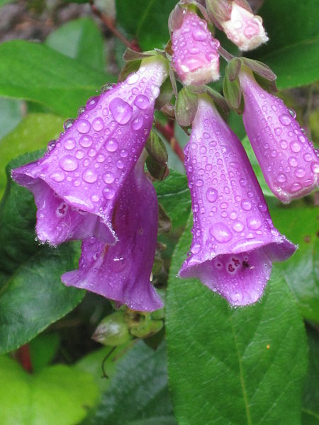 File:Flora Digitalis purpurea.JPG