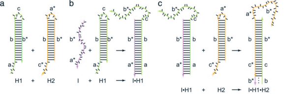 Figure2.1.1 (a–c) Secondary structure schematic of HCR function. Letters marked with * are complementary to the corresponding unmarked letter.(a) Hairpins H1 and H2 are stable in the absence of initiator I. (b) I nucleates at the sticky end of H1 and undergoes an unbiased strand displacement interaction to open the hairpin. (c) The newly exposed sticky end of H1 nucleates at the sticky end of H2 and opens the hairpin to expose a sticky end on H2 that is identical in sequence to I. Hence, each copy of I can propagate a chain reaction of hybridization events between alternating H1 and H2 hairpins to form a nicked double-helix, amplifying the signal of initiator binding. Figure and introduction from Robert M. Dirks and Niles A. Pierce PNAS  October 26, 2004  vol. 101 no. 43