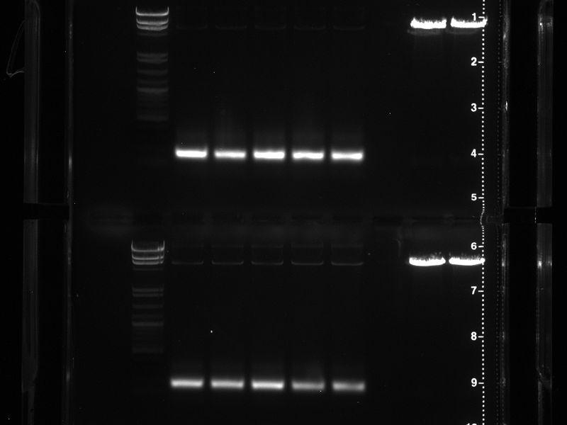 File:Random Mutagenesis TSA + 5-3.jpg