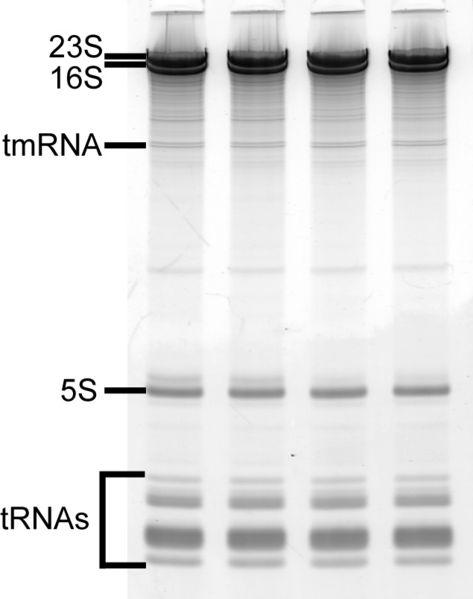 File:SDM RNA1.jpg