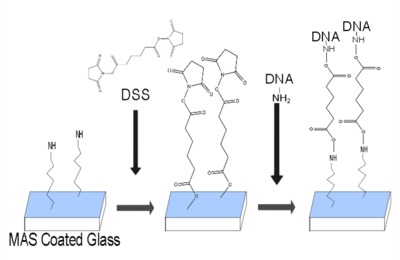 Figure1. A series of attaching aminated DNA to glass reaction