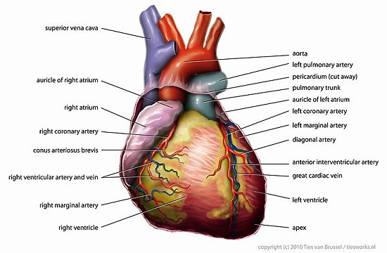 Lab 8 vertebrate circulation and respiration openwetware dorsal view of heart s11g a ccuart Choice Image