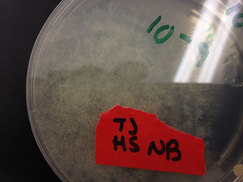 The above image shows the colony that was sampled from the agar plate with the 10-5 dilution.