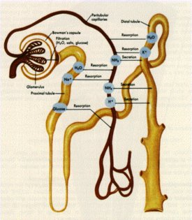 Figure 1. Diagram of a nephron and the processes [1]