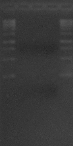 File:Pure PCR product 1Jun2010.JPG