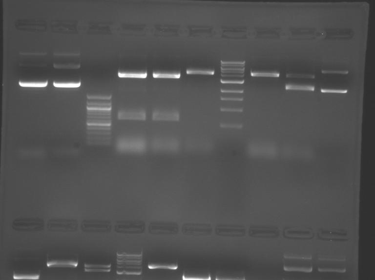 File:S10 M2D5 WF gel-Orange.jpg