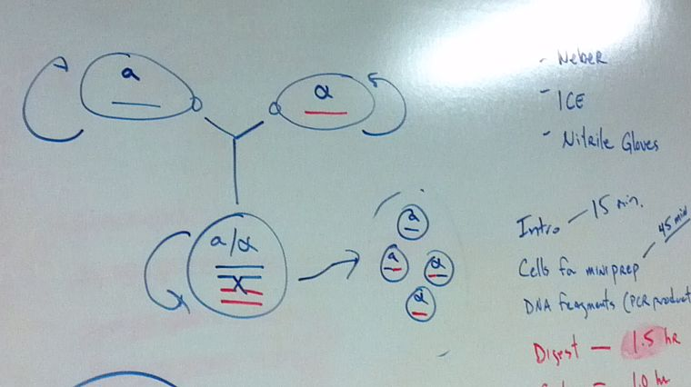 Yeast life cycle and sporulation