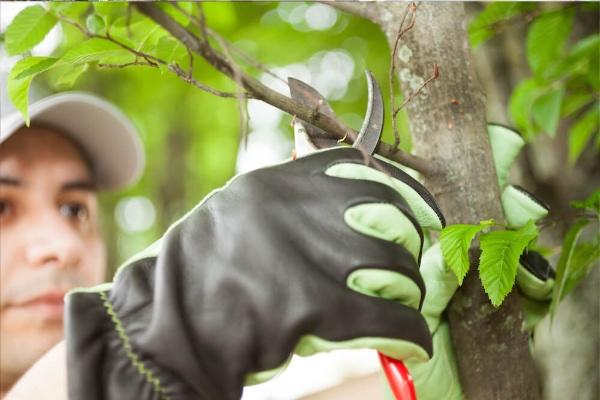 Tree Pruning & Lancing