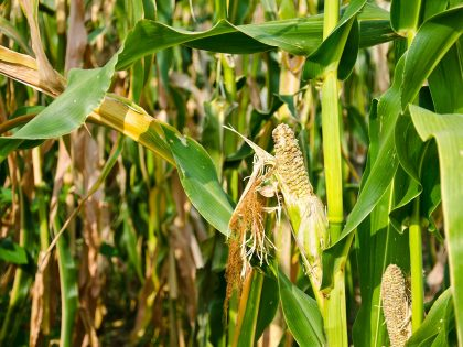 drought damaged corn causing food insecurity