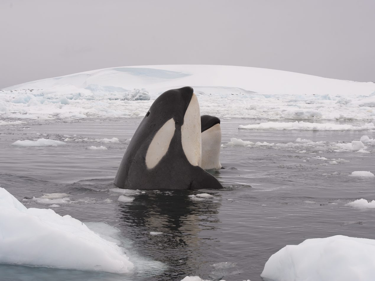 orcas breaching in icy water