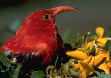 Hakalau Forest NWR Birding