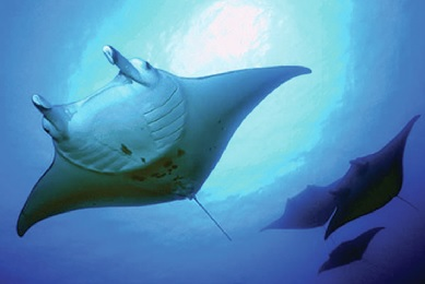 Kamanu Manta Night Snorkel image 1