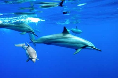 Product Lanai Dolphin Snorkel Experience