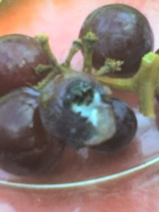 Nasty Grapes