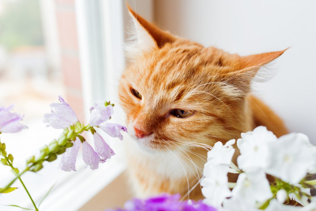 Ginger cat sniffs a bunch of flower. Cozy summer morning at home