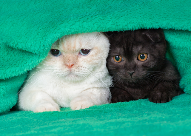 Two cute little kittens peeking out from under the soft warm green blanket