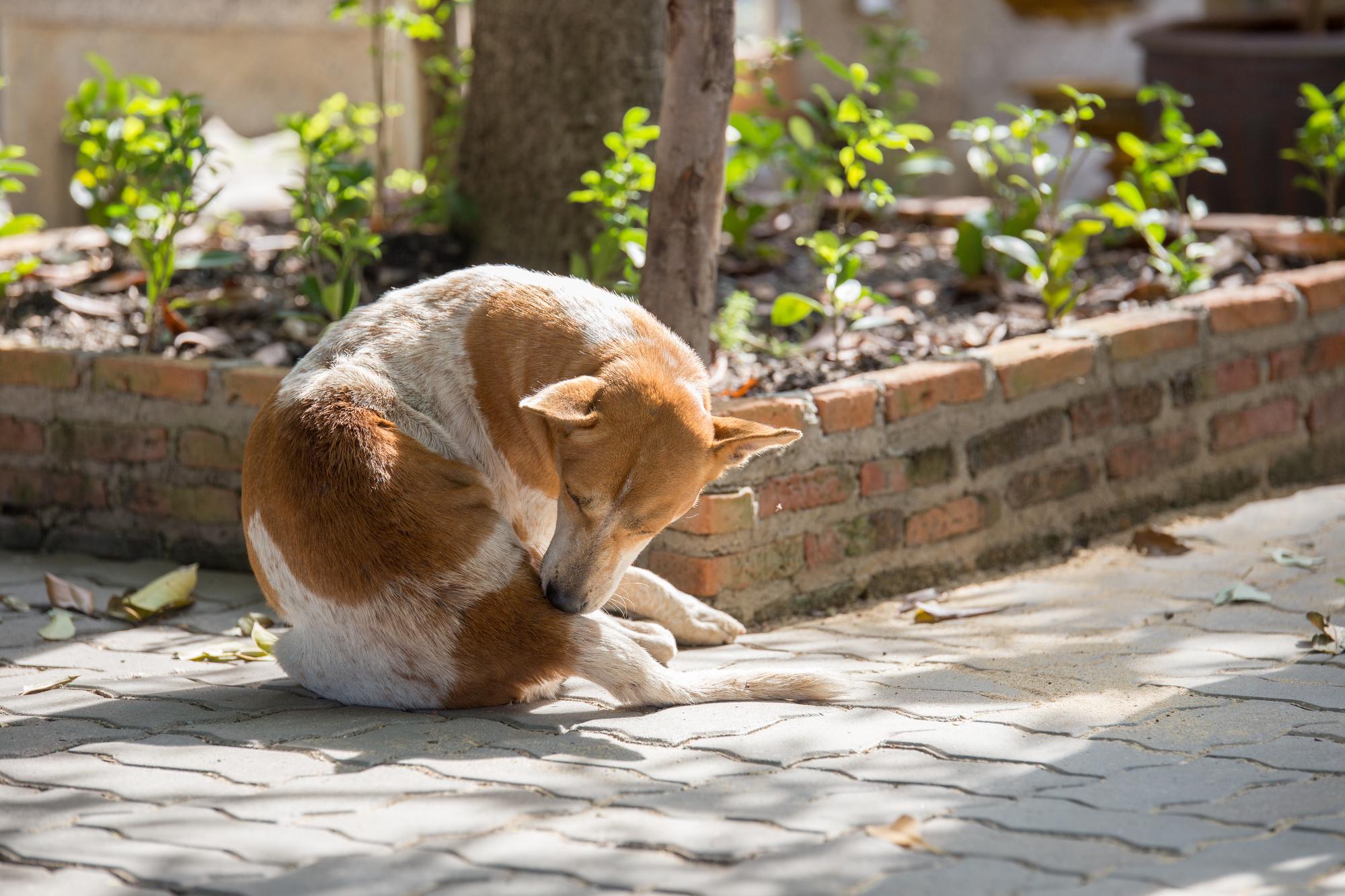 犬 かゆい 搔く
